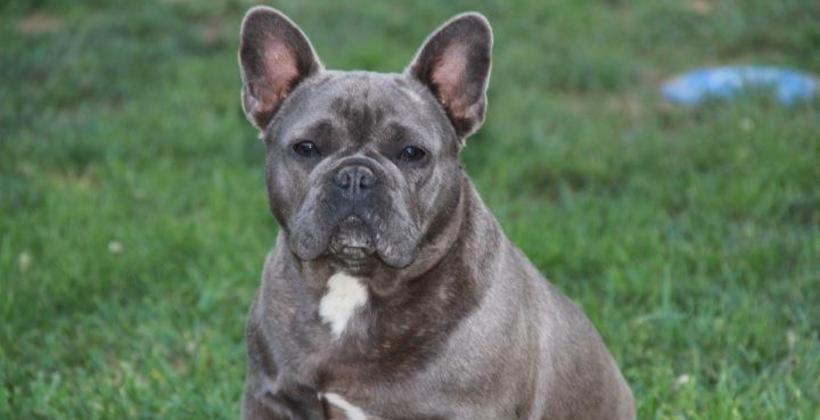 Adult french bulldogs x3cb x3efrench bulldogs x3c b x3e for sale
