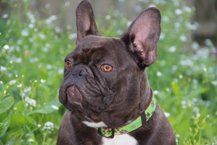 adult french bulldog french bulldogs for sale in alabama 5546
