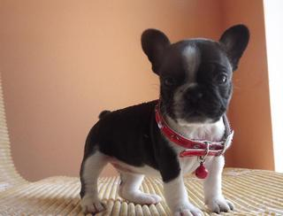 French bulldogs for sale - Adorable Frenchie puppies!
